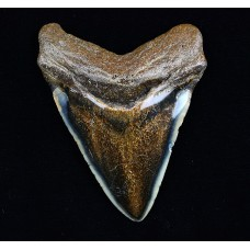Megalodon Tooth, Polished, Dark
