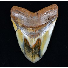 Megalodon Tooth, Polished, Large