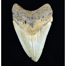 Megalodon Tooth, Unpolished, Medium