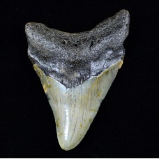 Megalodon Tooth, Unpolished, Small